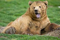 Expressão do urso de Kodiak imagem de stock