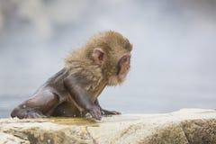 Expressão facial do macaco da neve: Determinação Fotografia de Stock