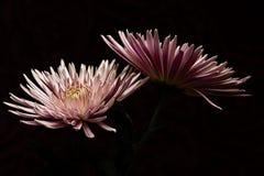 Expressões cor-de-rosa fotografia de stock royalty free