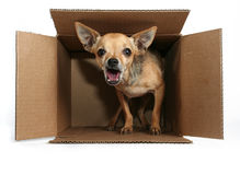 Express mail. A tiny chihuahua in a box for the mail Royalty Free Stock Photography