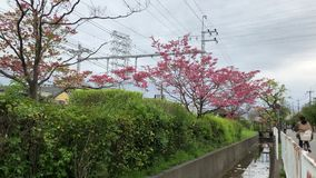 Express train in Japan. An express train passing some cherry blossoms on its way to Osaka city, Japan stock video footage