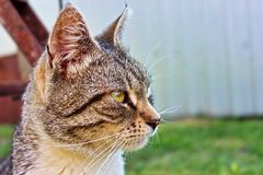 Expressief kijk van een bont grijze kat stock afbeelding