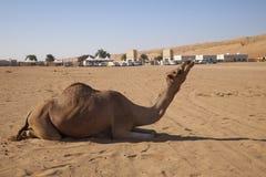 Expressieve kameel in Oman Royalty-vrije Stock Fotografie