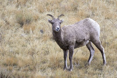 Expressing your attitude, stick your tongue out, bighorn sheep i Stock Photo
