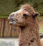 Expression on a Camel Stock Image