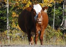 Expression drôle d'une vache Photos libres de droits