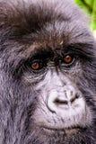 Expression du visage d'un gorille de montagne femelle Photo libre de droits