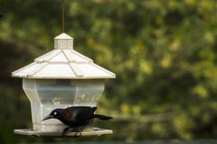 Grackle bird on bird feeder Stock Photo
