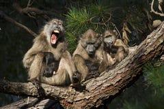 Expressions de babouin Photos stock