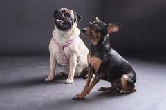 Expressions de deux chiens affamés capturés Images libres de droits