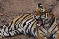 Expressions de tigre Photo libre de droits