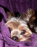 Expressions de Yorkie Images stock