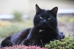 Expressive black cat. Black cat with charming green eyes on a vegetal roof garden Royalty Free Stock Photography