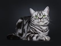 Excellent marked black silver tabby blotched British Shorthair cat kitten,solated on black background. Expressive black silver tabby blotched British Shorthair royalty free stock photo