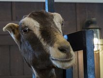 Expressive Goat Face at Fairplex Pomona Fairgrounds Royalty Free Stock Photography