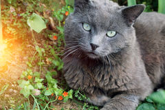 Expressive gray cat lying on the grass and resting. Expressive gray cat lying on the grass and resting Royalty Free Stock Photos
