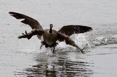 Expressive  photo with the Canada goose flying away from his rival Royalty Free Stock Photos