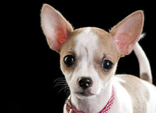 Expressive portrait Chihuahua puppy on black Stock Photography