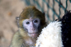 Expressive portrait of a green monkey Royalty Free Stock Photos