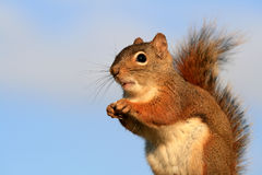 Expressive Red Squirrel Stock Image