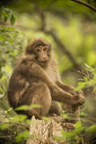 Expressive, Seated Baby Tibetan Macaque Stock Images