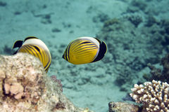 Exquisite butterflyfish (chaetodon paucifasciatus) Royalty Free Stock Photography