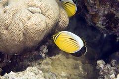 Exquisite butterflyfish (chaetodon paucifasciatus) Stock Images