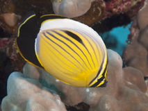 Exquisite butterflyfish. In red sea Stock Image