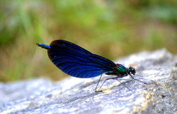 Exquisite dragonfly. Exquisite picturesque dragonfly perched on stone blurred background Royalty Free Stock Photography