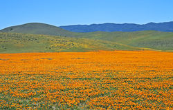 Exquisite hills, California. Exquisite hills painted with poppies along Hwy. 138 east of Gorman, Los Angeles County, California Stock Image