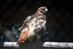 Exquisite Look at a Red Tail Hawk. Amazing Red Tail Hawk Looking All Around Royalty Free Stock Photography