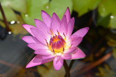 Exquisite lotus Stock Image