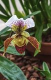 Exquisite Paphiopedilum Farncheck orchid, Wisley, Surrey. An exquisite orchid, Paphiopedilum Farncheck in full bloom. Also known as Lady`s slipper royalty free stock photo