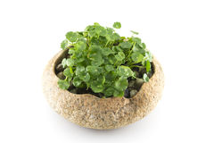 Exquisite potted. Planted in the stone royalty free stock images