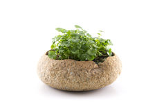 Exquisite potted. Planted in the stone Royalty Free Stock Photography