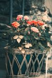 Exquisite roses in flower pot on the wall. Colored roses on a grey stone wall with grating Stock Photos