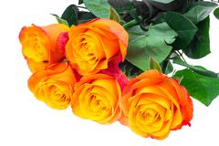 Exquisite roses isolated on white background Royalty Free Stock Photography