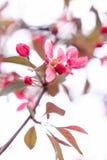 Exquisite sakura flower. On a white background Stock Photo