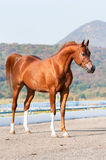 Extérieur d'étalon Arabe de cheval de châtaigne photographie stock libre de droits