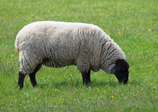 Extérieur des moutons du Suffolk Photos stock