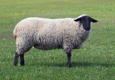 Extérieur des moutons du Suffolk Image libre de droits