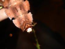 Extatosoma tiaratum egg. Detail on the tail end of Extatosoma tiaratum with egg Stock Image