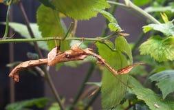 Extatosoma Tiaratum, Gigantyczny kija insekt Lub Macleay widmo obrazy royalty free