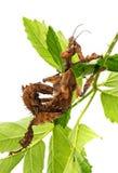 Extatosoma tiaratum tiaratum - spiny leaf Stock Images