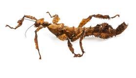 Extatosoma tiaratumtiaratum - taggigt blad Royaltyfria Bilder