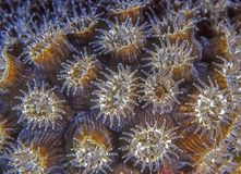 Extended star coral at night. Srar Coral extened at night on coral reef underwater stock images
