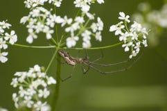 extensa蜘蛛tetragnatha 库存照片
