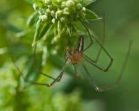Extensa di Tetragnatha del ragno Fotografie Stock Libere da Diritti