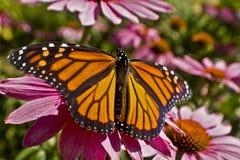 Extensión de las alas de la mariposa de monarca en cierre de la flor del Echinacea para arriba Fotografía de archivo libre de regalías