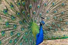 Extensión hermosa de un pavo real Imagen de archivo